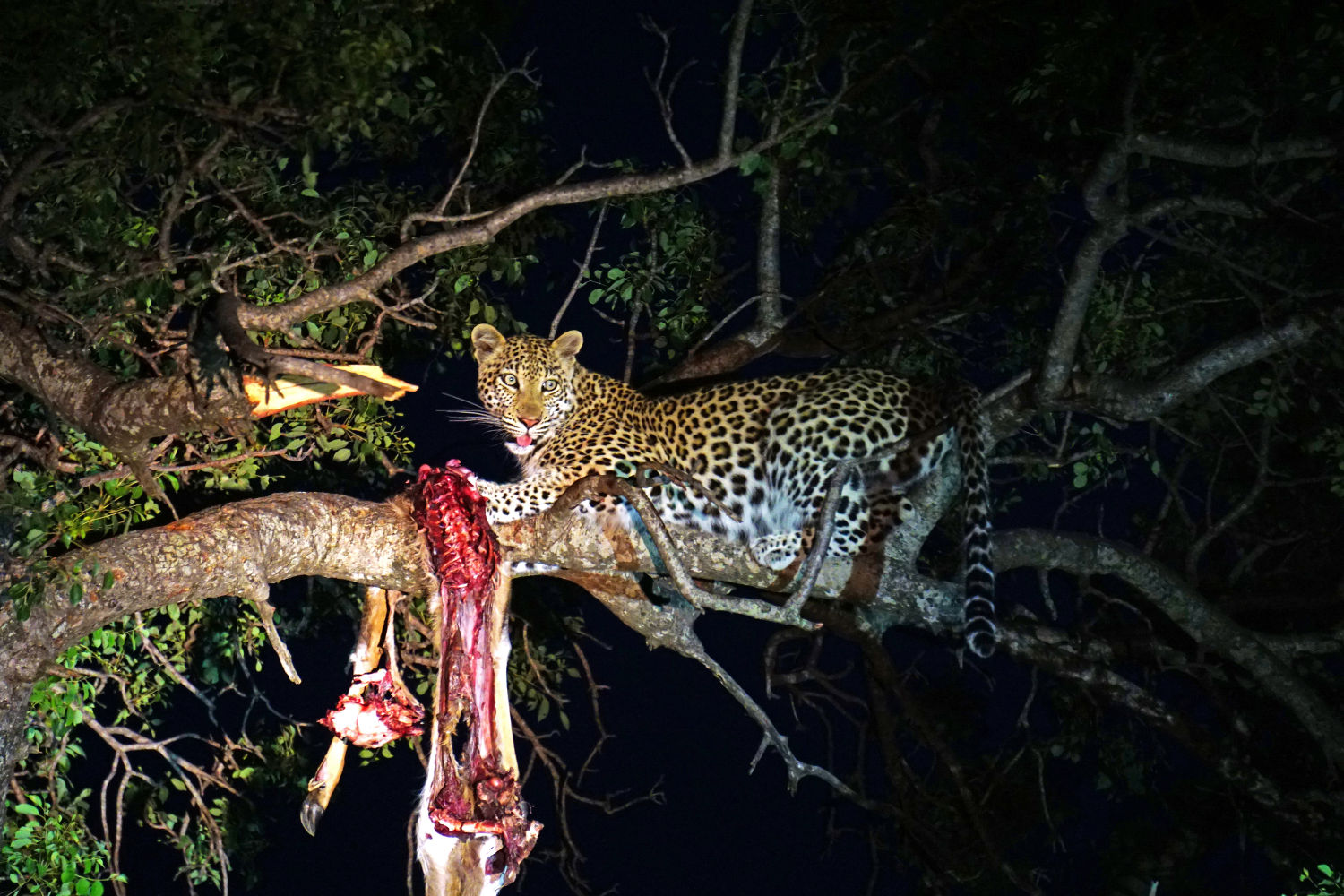 leopard eating meat|yourhealthyprostate.com - YOUR HEALTHY PROSTATE - HOW TO CURE PROSTATE ONCE AND FOR ALL AND KEEP IT HEALTHY