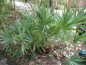 Saw Palmetto tree (Serenoa repens)