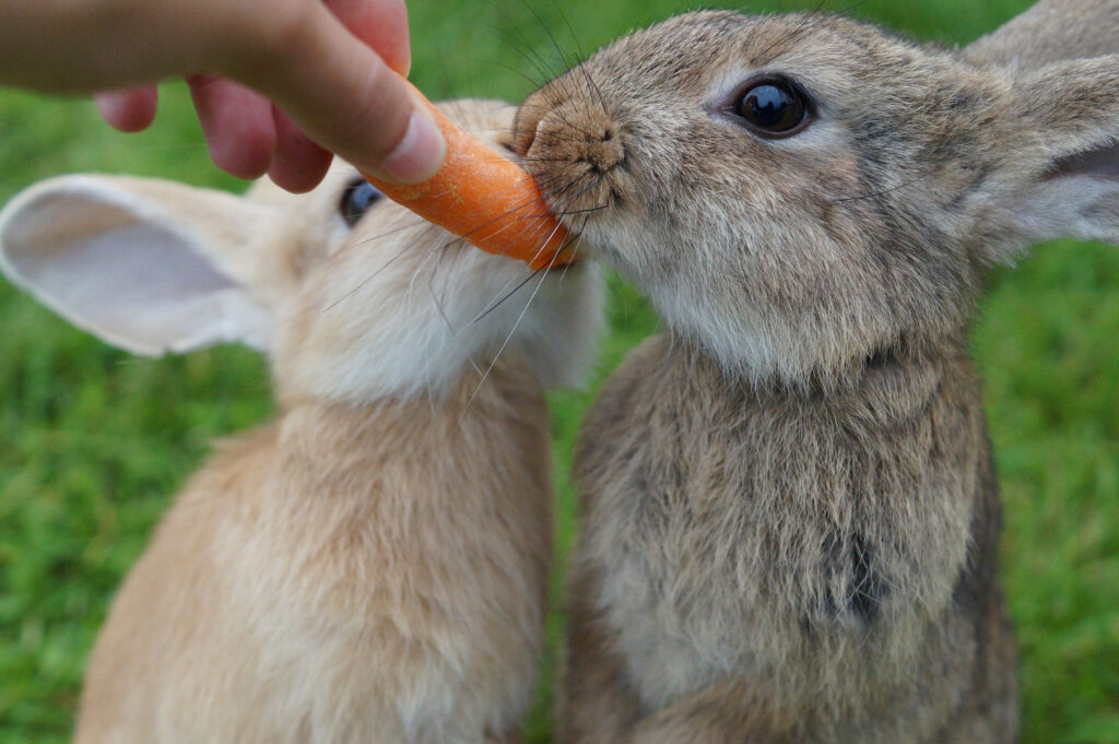 rabbit-carrots|yourhealthyprostate.com-Your Healthy Prostate